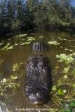 American Alligator 035
