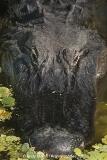 American Alligator 049