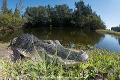 American Alligator 077