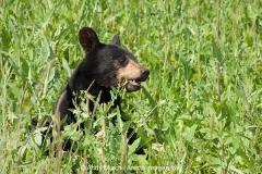 American Black Bear 006