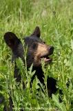 American Black Bear 020