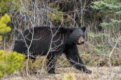 American Black Bear 062