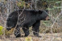 American Black Bear 063