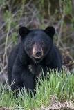 American Black Bear 065