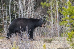 American Black Bear 068