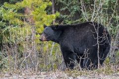 American Black Bear 070