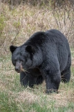 American Black Bear 074
