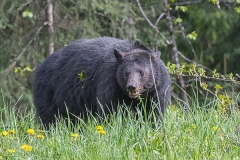 American Black Bear 079
