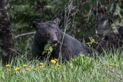 American Black Bear 082