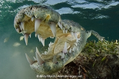 American Crocodile 287