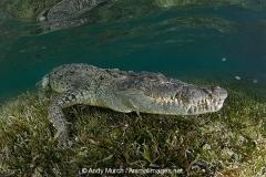 American Crocodile 388