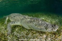 American Crocodile 441