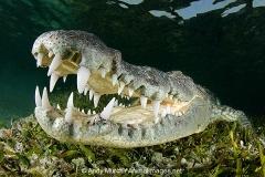 American Crocodile 485