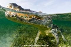 American Crocodile 505