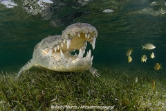 American Crocodile 510