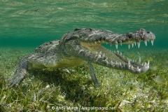 American Crocodile 567