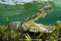 American Crocodile 579