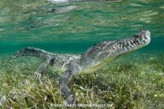 American Crocodile 624