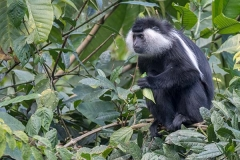 Angolan Colobus Monkey 006