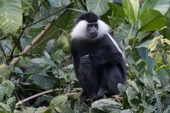 Angolan Colobus Monkey 009