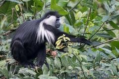 Angolan Colobus Monkey 015