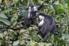 Angolan Colobus Monkey 019