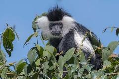 Angolan Colobus Monkey 031