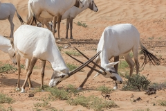 Arabian Oryx 006