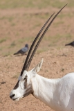 Arabian Oryx 017