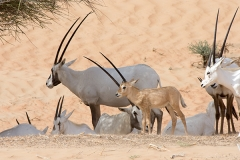 Arabian Oryx 018