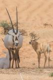 Arabian Oryx 023