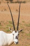 Arabian Oryx 030