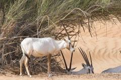Arabian Oryx 031