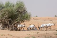 Arabian Oryx 034