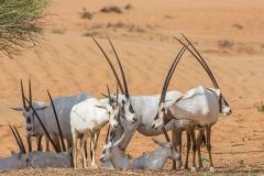 Arabian Oryx 038