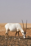 Arabian Oryx 043