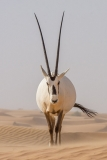 Arabian Oryx 054