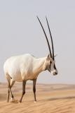 Arabian Oryx 056
