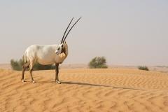 Arabian Oryx 064