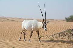 Arabian Oryx 068