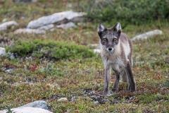 Arctic Fox 007