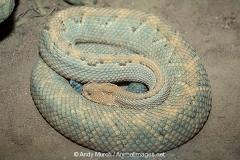 Aruba Island Rattlesnake 001