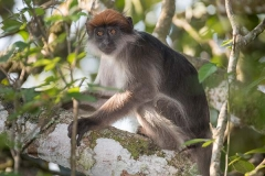Ashy Red Colobus 003
