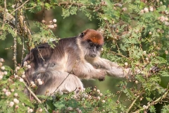 Ashy Red Colobus 011