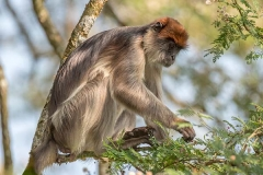 Ashy Red Colobus 015