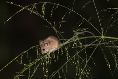 Asiatic Long-Tailed Climbing Mouse 001