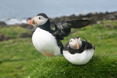Atlantic Puffin 001