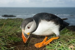 Atlantic Puffin 016
