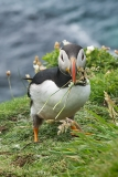 Atlantic Puffin 035