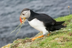 Atlantic Puffin 036